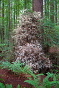 albino-redwood